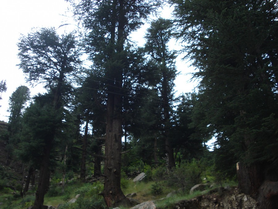 Threat to Chilgoza tree- Old degraded forest and no new generation